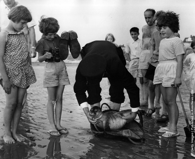 1964: Inspector Hutter of the RSPCA rescues a seal pup on one of Norfolk's beaches. The seal pups, and carcasses of parent seals are often washed up following the slaughter of seals for their skins in The Wash