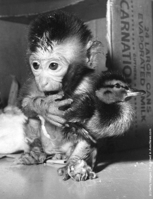 circa 1955:  A close-up of a young chimp holding a bird