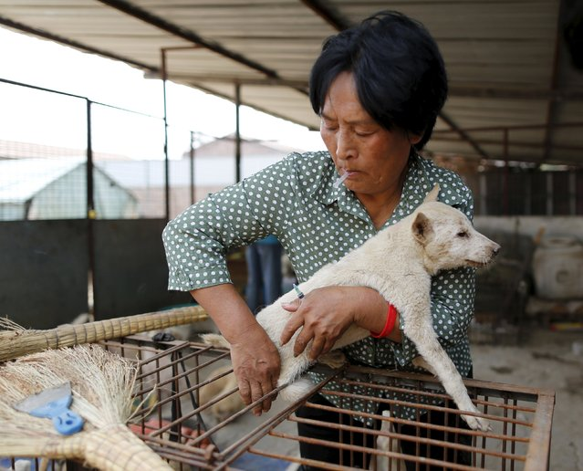 Dog lover Yang Xiaoyun injects medicine to a dog which she purchased in China's southern town of Yulin, at her shelter for dogs in Tianjin, China, July 8, 2015. (Photo by Kim Kyung-Hoon/Reuters)