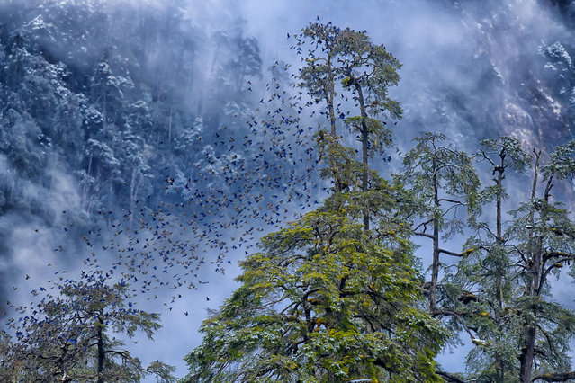 Falling leaves are blue by Kallol Mukherjee in North Sikkim, India. The near-symmetrical flight of a flock of more than 200 Grandala birds. Capturing these birds on film can be a challenge, as they remain at a very high altitude in Himalayan terrain for almost eight months of the year. The birds will descend to 8,000ft only when the upper areas are completely covered in snow and food becomes scarce. (Photo by Kallol Mukherjee/2019 Royal Society of Biology Photography Competition)
