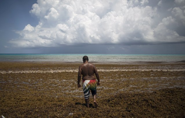 A man walks through Sargassum algae at Gaviota Azul beach in Cancun July 17, 2015. Ninety tons of Sargassum, which releases a pungent smell as it decomposes, has been cleared by authorities. According to some biologists, ocean currents have brought the algae from the Sargasso Sea in the Atlantic Ocean to the coasts of Quintana Roo, local media reported. Gaviota Azul beach is one of the most visited beaches in Cancun. (Photo by Victor Ruiz Garcia/Reuters)