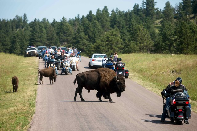 Touring bikers participate in the annual Sturgis Motorcycle Rally in Custer State Park, South Dakota, August 3, 2015. Custer State Park is a popular destination for bikers during the rally and is the most heavily trafficked time at the park in the southern Black Hills. (Photo by Kristina Barker/Reuters)