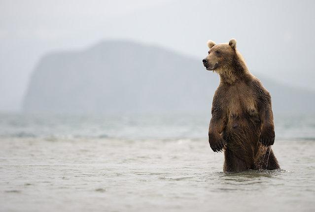 A she-bear waiting for fish/n. South Kamchatka Sanctuary<><>South Kamchatka Sanctuary; sockeye; Kamchatka; bear; Kuril Lake; salmon