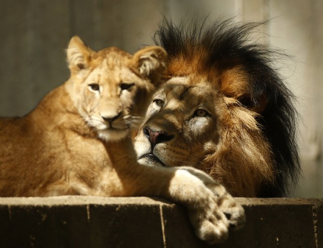 Lions rest as the hot sun beats down upon them at the National Zoo in Washington September 4, 2014. After a mild summer, the nation's capital is experiencing late season heat wave with temperatures up to around 90 degrees Fahrenheit. (Photo by Kevin Lamarque/Reuters)