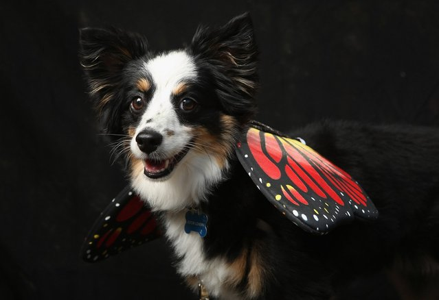 Astor, a mini Aussie, poses as a butterfly at the Tompkins Square Halloween Dog Parade on October 20, 2012 in New York City