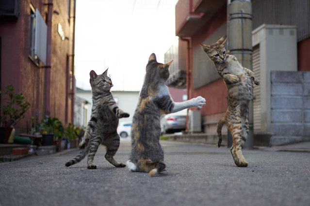 The cats, all photographed on the streets of Japan, would put the likes of Bruce Lee and Jackie Chan to shame. (Photo by Hisakata Hiroyuki/Caters News Agency)