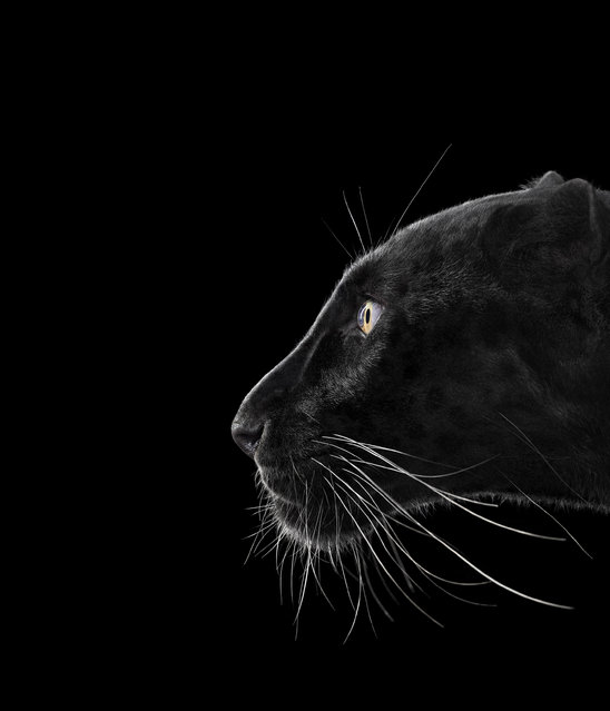 Black leopard. (Photo by Brad Wilson/Caters News)