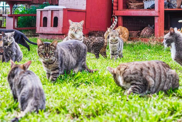 Loads of cats at the shade at the Lanai Cat Sanctuary in Hawaii. (Photo by Andrew Marttila/Caters News Agency)