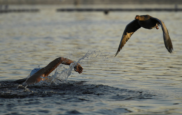 A goose flies past a swimmer in the Serpentine in Hyde Park, in London, Britain, December 12, 2017. (Photo by Clodagh Kilcoyne/Reuters)