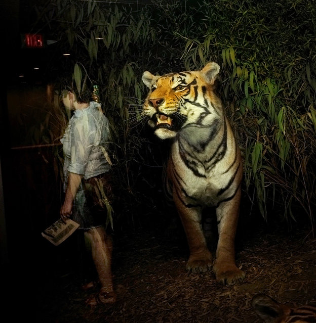 """Natural History"": Tiger. (Photo by Traer Scott)"