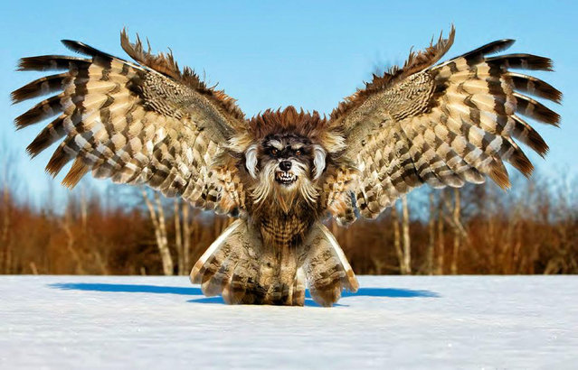 Cross between a dog and a vulture – Fierce Schnowlzer. (Photo by Sarah DeRemer/Caters News)
