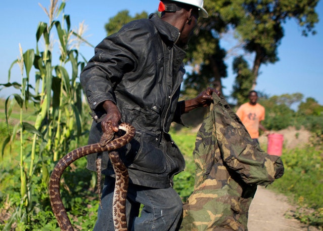 In this January 22, 2013 photo, snake handler Saintilus Resilus carries a snake he just caught in the wild to use in his street performances, as he hunts for serpents in the countryside of L'Estere, in Haiti's Artibonite state. It's the serpents that help him eat and pay rent, in addition to his work for a neighborhood herbologist. And it's the snakes for which he's most famous. (Photo by Dieu Nalio Chery/AP Photo/Matt Dayhoff)