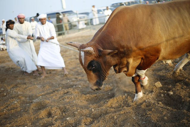 Men pull a bull with a rope during a bullfight in the eastern emirate of Fujairah October 17, 2014. (Photo by Ahmed Jadallah/Reuters)