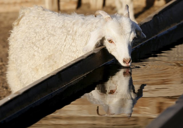A goat drinks water at a farm near the Cheder Lake outside the village of Kur-Cher in Tuva region, Southern Siberia, Russia, October 8, 2015. (Photo by Ilya Naymushin/Reuters)
