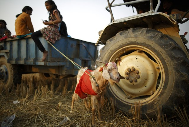 """A sacrificial goat is tied to a vehicle trailer on the eve of the sacrificial ceremony for the """"Gadhimai Mela"""" festival in Bariyapur November 27, 2014. (Photo by Navesh Chitrakar/Reuters)"""