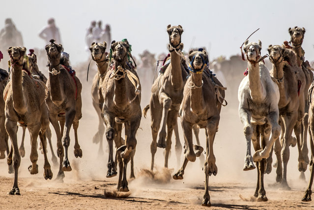 Camels run on a dirt track during a race in Egypt's South Sinai desert on September 12, 2020, after more than six month of hiatus due to the coronavirus outbreak. Camel racing is a traditional sport in many Arab countries, most notably in the Gulf region, and in Egypt, bedouins of the South Sinai desert have kept up the tradition. But race events have been suspended since March following the COVID-19 outbreak, and orders only came down at the beginning of the month that they could resume this weekend. (Photo by Khaled Desouki/AFP Photo)