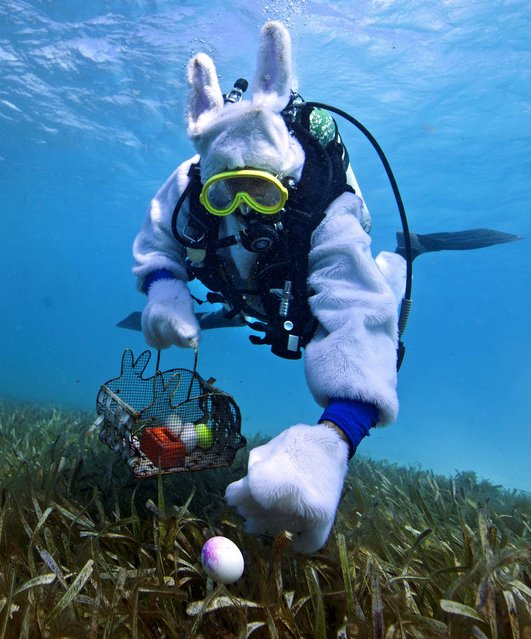 Spencer Slate, costumed as a scuba-diving Easter bunny, is shown in this handout photo provided by the Florida Keys News Bureau as he hides eggs amid eel grass, in the Florida Keys National Marine Sanctuary off Key Largo, Florida March 31, 2013. About 80 adults and children participated in an Underwater Easter Egg Hunt, seeking real hard-boiled eggs painted with non-toxic food coloring to avoid adverse effects on the marine ecosystem. (Photo by Bob Care/Reuters/Florida Keys News Bureau)