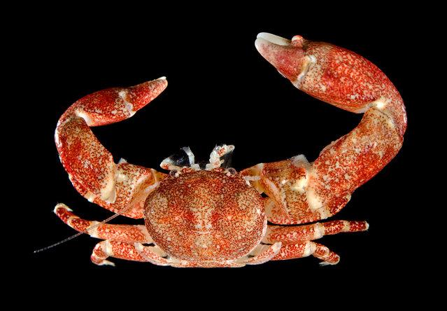 Sponge-associated porcelain crab (Polyonyx sp); Singapore Marine. (Arthur Anker)