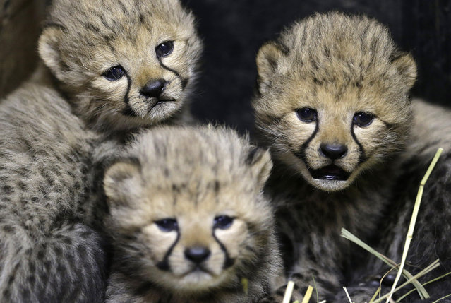 Three of the newly born cheetah quadruplets rest at their enclosure in Prague's zoo, Czech Republic, Friday, December 19, 2014. The four cubs we're born on November 21, 2014. Scientists say every cheetah cub is critical to saving the species, which is threatened with extinction in the wild. (Photo by Petr David Josek/AP Photo)