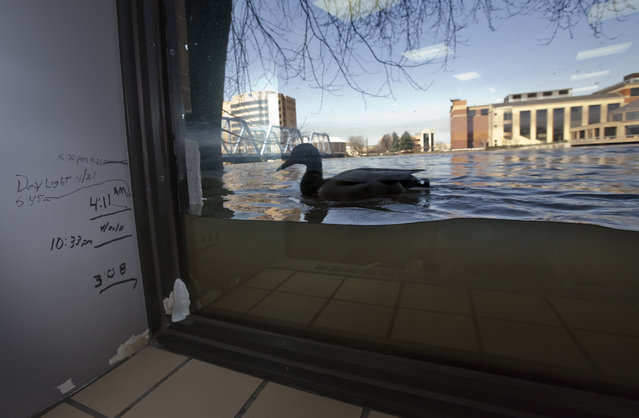 A duck swims a window, viewed from inside Anderson Eye Care at the Riverfront Plaza Building in downtown Grand Rapids, Mich., as The Grand River crests on Monday, April 22, 2013, at an all time high of 21.85 feet, a full 2.2 feet above the record set in 1985, in downtown Grand Rapids. Previous water levels can be seen marked on the wall. (Photo by Cory Morse/AP Photo/The Grand Rapids Press)