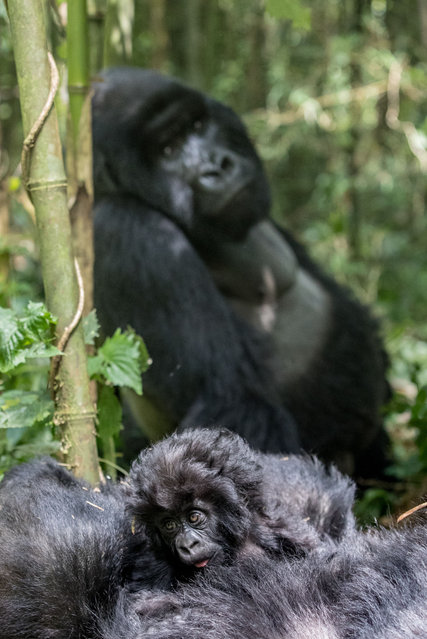 Just 880 critically endangered mountain gorillas remain in the wild, facing threats of habitat destruction and human-wildlife conflict. (Photo by Paul Goldstein/Exodus/Rex Features/Shutterstock)