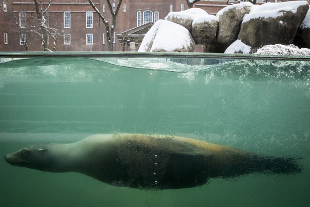 A California Sea Lion swims in the pool at New York's Central Park Zoo following an early morning snowfall January 9, 2015. (Photo by Brendan McDermid/Reuters)