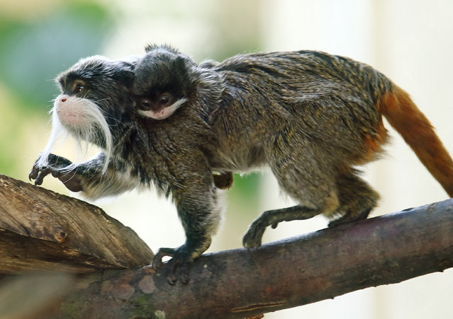 An male emperor tamarin (Saguinus imperator) carries a four-week-old infant at Schoenbrunn Zoo in Vienna, Austria, May 29, 2015. The infant was born at the zoo on April 26 and measures some 5 cm (2 inches) without its tail. (Photo by Heinz-Peter Bader/Reuters)