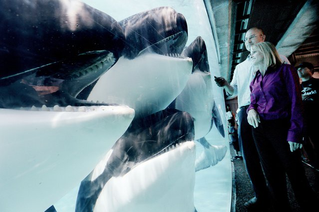 Four inquisitive killer whales gather to inspect visitors against a glass panel at Seaworld in San Diego, California, on August 10, 2013. (Photo by Sandy Huffaker/Barcroft Media)