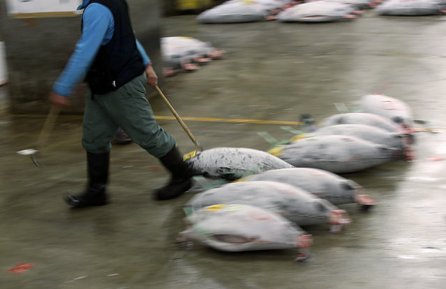 A prospective buyer pulls a frozen tuna during the first auction of the year at Tsukiji fish market  in Tokyo, Tuesday, January 5, 2016. (Photo by Eugene Hoshiko/AP Photo)