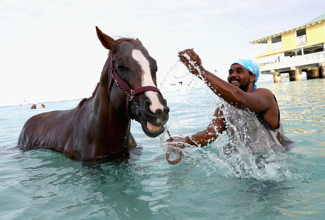 Horses from the Garrison Savannah, who are involved in celebrations today to mark 50 years of Independence, are washed in the sea first thing in the morning on December 1, 2016 in  Bridgetown, Barbados. (Photo by Chris Jackson/Getty Images)