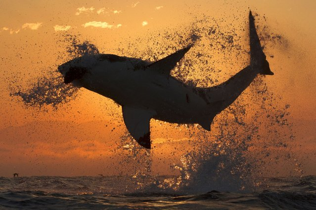 An incredible shot of a Great White shark leaping from the ocean to catch a seal at Seal Island, False Bay, South Africa, on September 23, 2013. (Photo by Caters News)