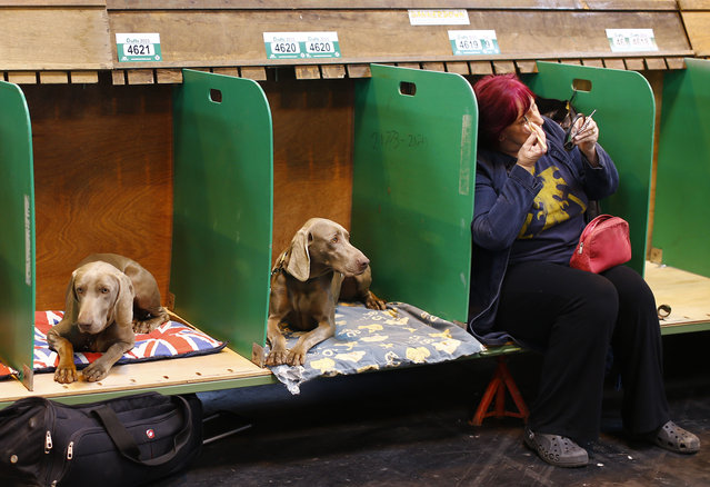 A woman sitting with Weimaraners applies makeup during the first day of the Crufts Dog Show in Birmingham, central England, March 5, 2015. (REUTERS/Darren Staples)