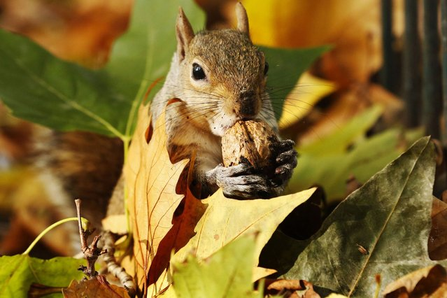 A squirrel eats a nut among a pile of autumn leaves at St James's Park in London, on Oktober 27, 2013. (Photo by Luke MacGregor/Reuters)