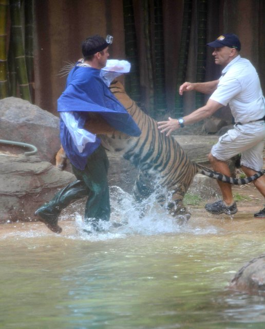 In this photo made on November 26, 2013, a Sumatran tiger leaps on Australia Zoo handler Dave Styles, left, as an unidentified man comes to Styles' aid in an enclosure at the zoo at Sunshine Coast, Australia. Styles who suffered puncture wounds to his head and shoulder was rescued by fellow workers at the zoo. He is recovering following surgery after being airlifted to a hospital. (Photo by Johanna Schehl/AP Photo)