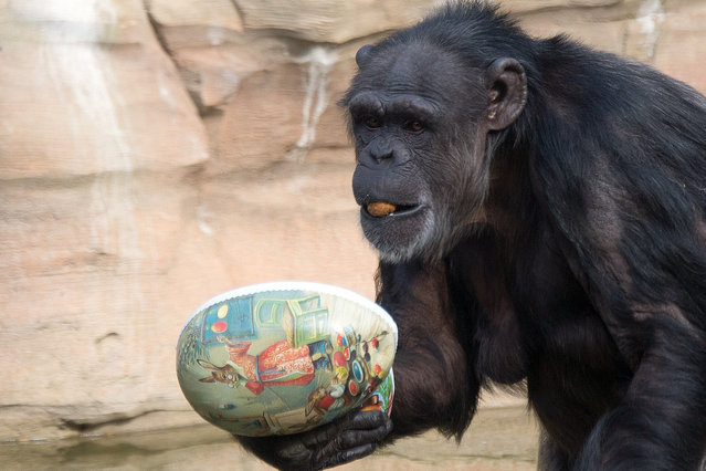 A chimpanzee holds a paper Easter egg filled with some treats on March 25, 2015 at the zoo in Hanover, central Germany. (Photo by Jochen Luebke/AFP Photo/DPA)