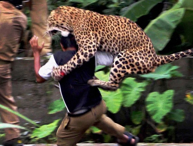 A leopard attacks a forest guard at Prakash Nagar village near Salugara on the outskirts of Siliguri on July 19, 2011. Six people were mauled by the leopard after the feline strayed into the village area before it was caught by forestry department officials. Forest officials made several attempt to tranquilised the full grown leopard that was wandering through a part of the densely populated city when curious crowds startled the animal, a wildlife official said. (Photo by Diptendu Dutta/AFP Photo)