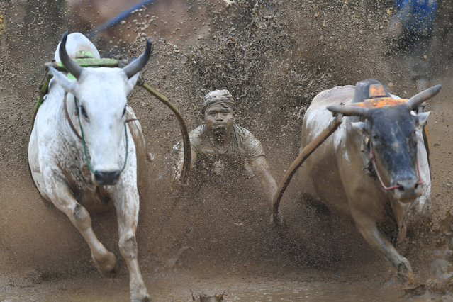 "An Indonesian jockey rides two bulls with a cart during a traditional sport bull race locally called ""pacu jawi"" in Pariangan of Tanah Datar regency in West Sumatra on December 1, 2018. (Photo by Adek Berry/AFP Photo)"
