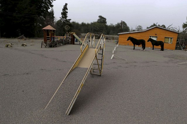 Horses are seen at a playground area covered with ash from Calbuco volcano at Ensenada town near Puerto Varas city April 23, 2015. (Photo by Ivan Alvarado/Reuters)