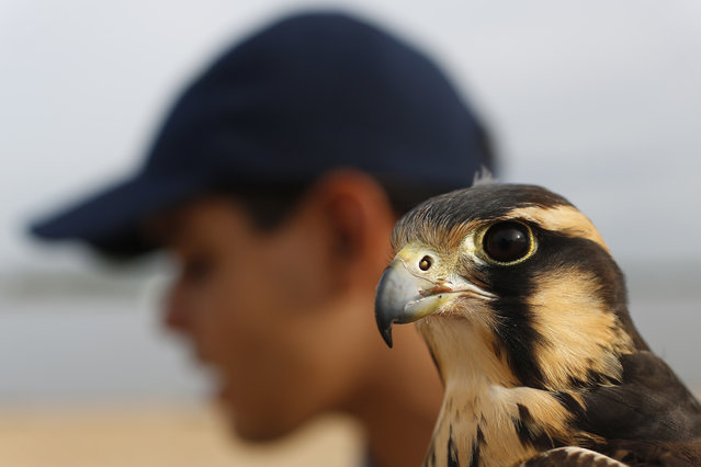 A female Aplomado Falcon named Baraka perches on the hand of her trainer Raul Palacios as he gives an interview and demonstration of his training techniques alongside the bay of Asuncion, Paraguay, Saturday, Jan. 11, 2014. (Photo by Jorge Saenz/AP Photo)