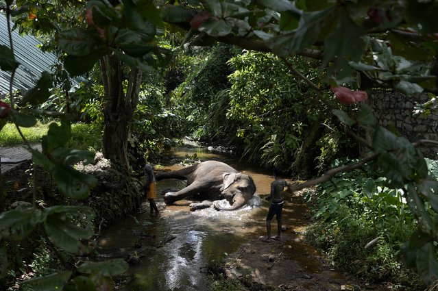A tame elephant Suddi who was recently released from government custody following a court order, reclines in a water way to cool off in Pannipitiya, a suburb of Colombo, Sri Lanka, Sunday, September 12, 2021. (Photo by Eranga Jayawardena/AP Photo)
