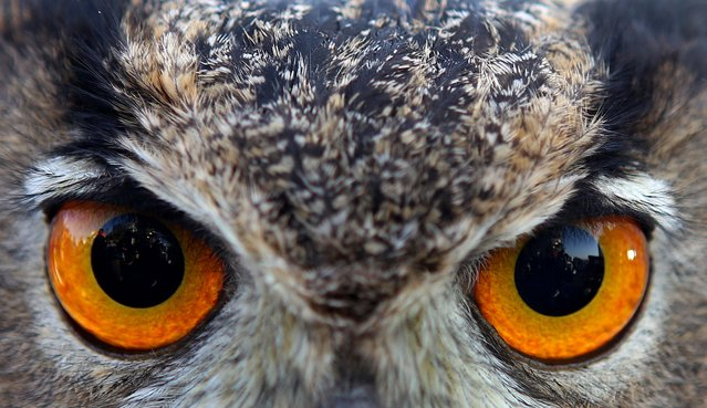 An Eurasian Eagle Owl is displayed at a shopping festival in Kuwait city on February 10, 2017. (Photo by Yasser Al-Zayyat/AFP Photo)