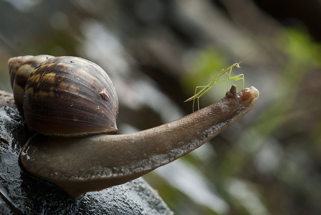 Praying Mantis Rides Snail Through Borneo Jungle. (Photo by Nordin Seruyan/Barcroft Media)