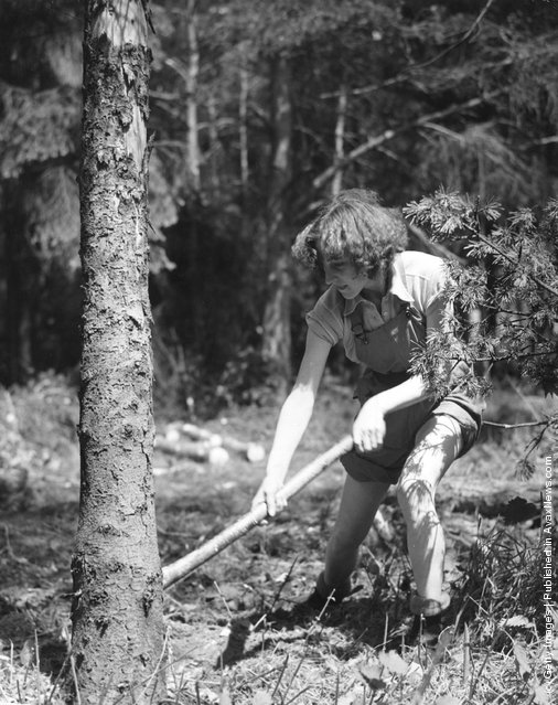 1942: Miss Daphne Hubbard, a member of the Timber Corps, fells a tree at a timber camp in Bury St Edmunds, England. The Corps are helping in the war effort during the Second World War
