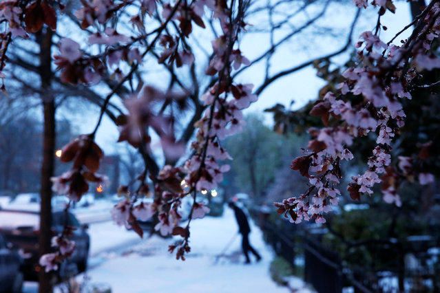 Ice coats a tree that had already begun to blossom for spring, as frozen rain falls on Capitol Hill, in Washington, U.S., March 14, 2017. (Photo by Jonathan Ernst/Reuters)