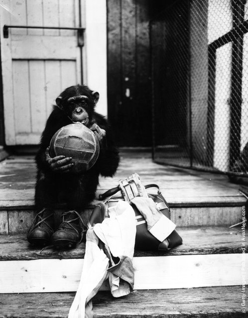 19th August 1955:  Joe the chimpanzee preparing for the football season