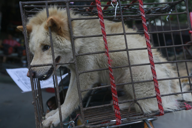 """A dog in a small cage waits to be sold in Yulin Big Market on Sunday, June 21, 2015 in Yulin, China. The Yulin """"dog meat festival"""" is underway around the summer solstice in China. Thousands of dogs, many of them stolen pets, were trucked in from around the country by traders wanting to profit. (Photo by AP Images for Human Society International)"""