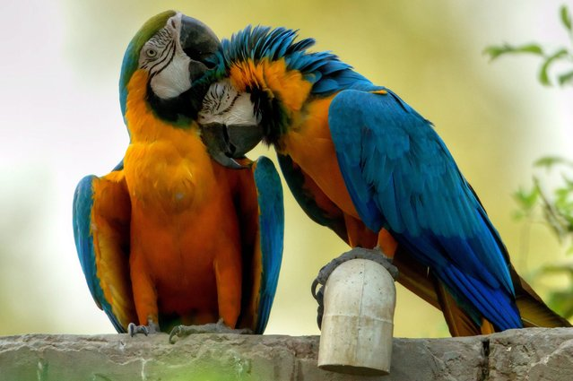 Parrots play at the Zoo Safari park in Lahore, Pakistan, 26 April 2014. (Photo by Omer Saleem/EPA)