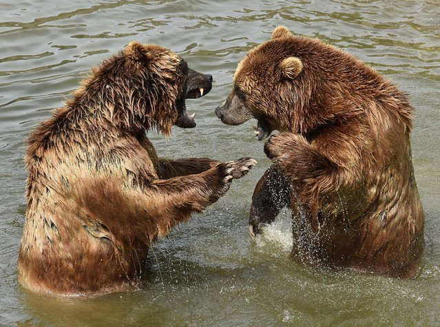 Two Kamchatka brown bears enjoy a bath in the cool water during hot and sunny weather with temperatures up to 35 degrees Celsius (95 Fahrenheit) at the zoo in Gelsenkirchen, Germany, Tuesday, July, 7, 2015. (Photo by Martin Meissner/AP Photo)