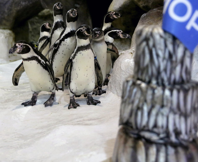 "The first Humboldt penguin born in the Philippines named ""Kaya"", second from right, is fed with a fish next to a three-tiered frozen ""fish cake"" in the penguin's habitat to celebrate its first birthday Wednesday, July 29, 2015 at the Manila Ocean Park, the country's largest oceanarium, in Manila, Philippines. Armi Cortes, the Ocean Park's Communications chief, said that ""Kaya"" was born last year. (Photo by Bullit Marquez/AP Photo)"