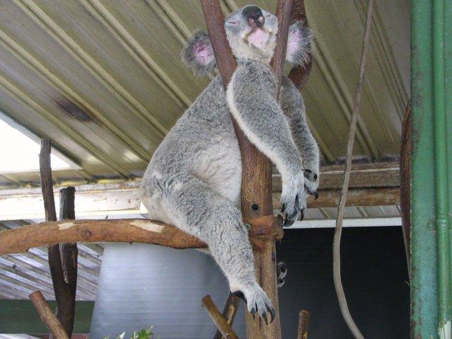 A sleeping Koala